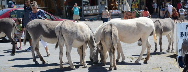 Burrows Roam Free in Oatman