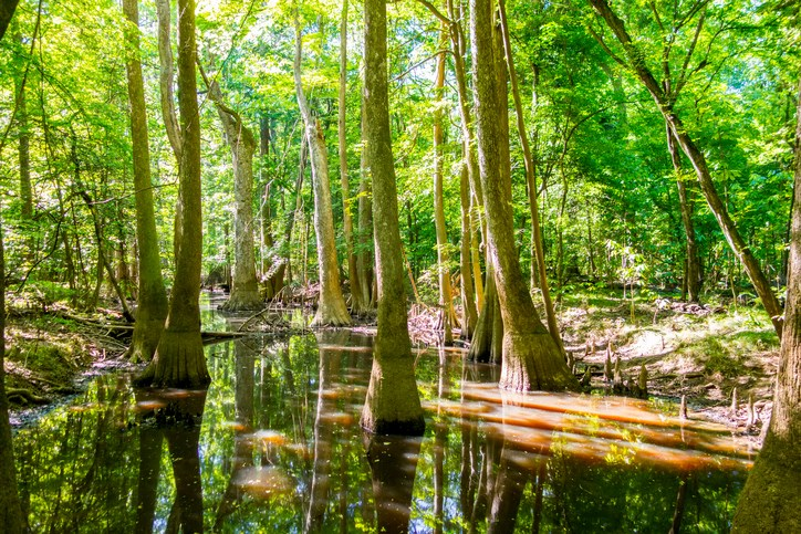 cypress forest and swamp of Congaree National Park