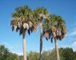 The South Carolina State Tree