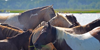 Chincoteague Pony Meet & Greet