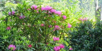 Wild Rhododendrons in Full Color