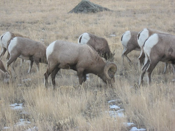 The National Bighorn Sheep Interpretive Center