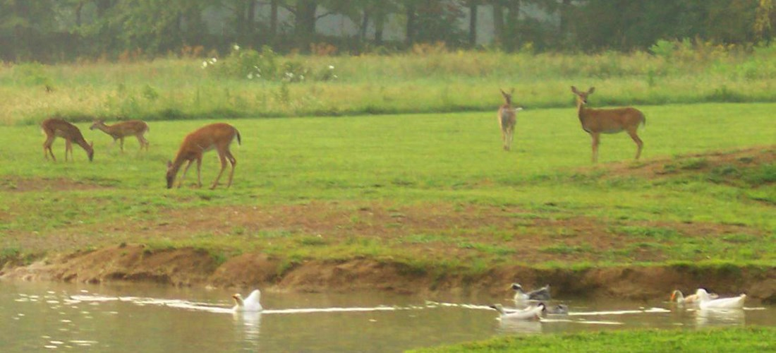 Deer in our Field