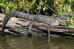 Swamp Tours and Air Boat Tours